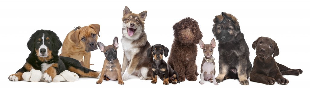 Lots of puppies. From left to right, Bernese Mountain Dog, mixed breed mastiff, French Bulldog, Finnish Lapphund, Dachshund, Labradoodle, Chihuahua, German Shepherd and a Chocolate Labrador